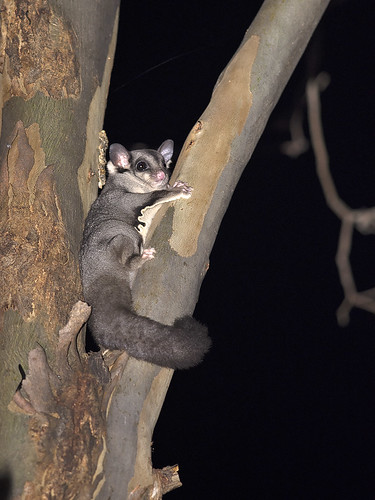 """Squirrel Glider (young) - Euroa District, Vic • <a style=""""font-size:0.8em;"""" href=""""http://www.flickr.com/photos/95790921@N07/33978476264/"""" target=""""_blank"""">View on Flickr</a>"""