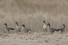 Tundra Bean Goose | tundrasädgås | Anser serrirostris