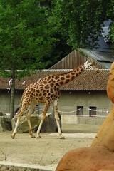 315 - 2017 06 10 - Giraffen wennen aan nieuw verblijf