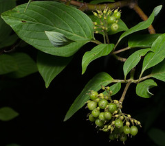 Dog Wood Berries