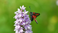 Five Spot Burnet on Common Spotted Orchid