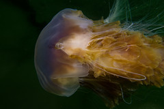 """Lion's Mane Jellyfish (Cyanea capillata) • <a style=""""font-size:0.8em;"""" href=""""http://www.flickr.com/photos/51511072@N04/35686294565/"""" target=""""_blank"""">View on Flickr</a>"""