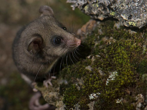 "Mountain Pygmy-possum - Kosciusko NP, NSW • <a style=""font-size:0.8em;"" href=""http://www.flickr.com/photos/95790921@N07/35522449702/"" target=""_blank"">View on Flickr</a>"