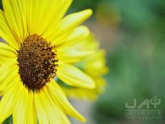 #sunflower #flower #flowerphotography #zilkerbotanicalgardens #atx #jayjayasuriyaphotography