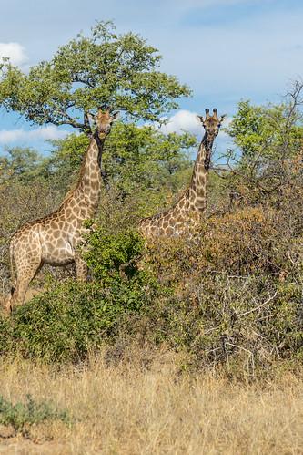 Afrique du Sud - Kruger parc