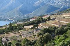 Grape fields near orebic