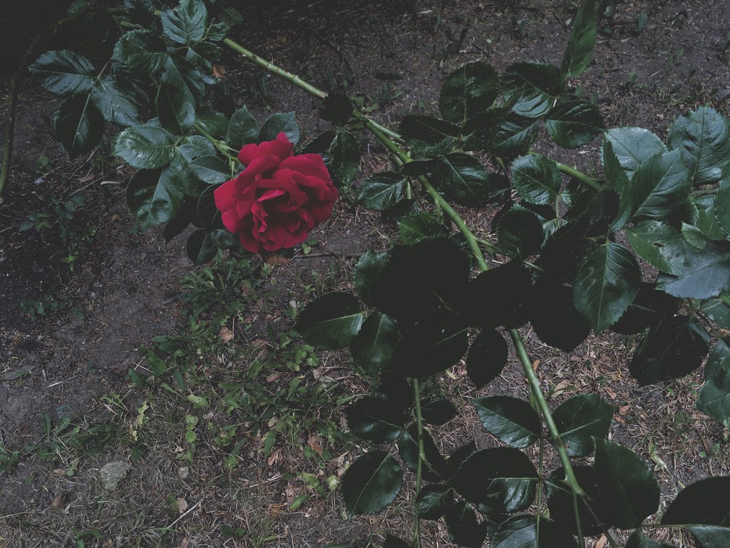 The Worlds Newest Photos Of Roses And Tumblr Flickr