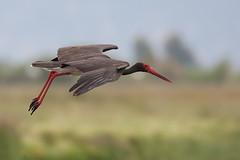 Black Stork | svart stork | Ciconia nigra