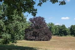 "Potsdam, Neuer Garten: Blutbuche - Copper beech in the ""New Garden"""