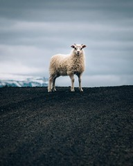 Icelandic sheep are some of the heartiest sheep in the world. They have two layers of wool; the bottom layer is light and insulating, while the top layer is strong and water-repellent. I've seen these guys standing out in downpours with thirty miles per w