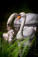 Two white swans with their cygnets...