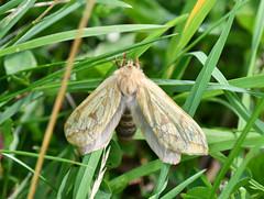 Ghost Moth in Tasker's Meadow