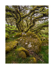 Wistman's Wood, Dartmoor, Devon, UK