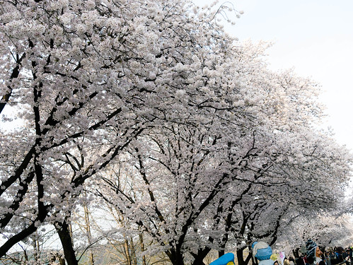 170409_MDY_벚꽃 나들이_30