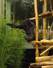 359 - 2017 07 01 - Gorilla (Matadi)