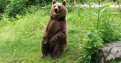 """Der Bär. Die Bären. Ein Bär ist auf dem Wappen von Berlin abgebildet. • <a style=""""font-size:0.8em;"""" href=""""http://www.flickr.com/photos/42554185@N00/34610329601/"""" target=""""_blank"""">View on Flickr</a>"""