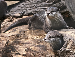 Two otter