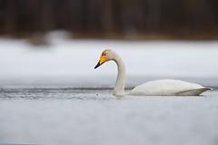 Whooper Swan | sångsvan | Cygnus cygnus