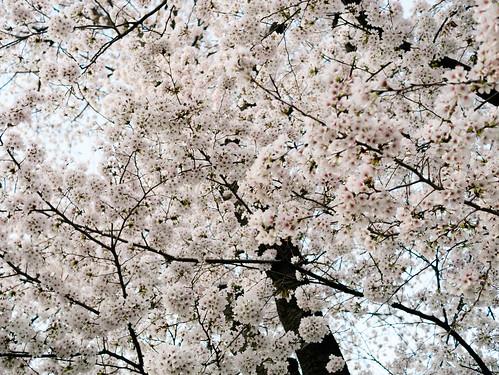 170409_MDY_벚꽃 나들이_37