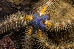 """Common Brittlestar (Ophiothrix fragilis) • <a style=""""font-size:0.8em;"""" href=""""http://www.flickr.com/photos/51511072@N04/34845419614/"""" target=""""_blank"""">View on Flickr</a>"""