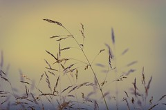 Grasses in early light