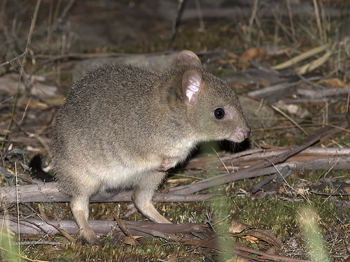 """Eastern Bettong - Gravelly Ridge, Tasmania • <a style=""""font-size:0.8em;"""" href=""""http://www.flickr.com/photos/95790921@N07/35219188854/"""" target=""""_blank"""">View on Flickr</a>"""