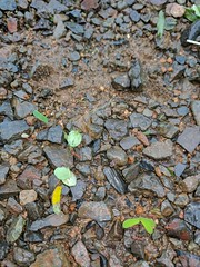 Leaf-cutter ants carrying their goods