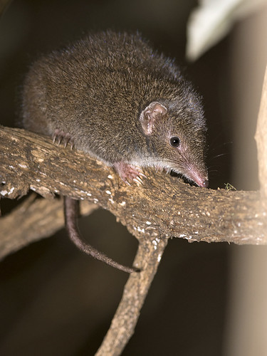 "Dusky Antechinus - Mount Wellington, Tasmania • <a style=""font-size:0.8em;"" href=""http://www.flickr.com/photos/95790921@N07/35925746111/"" target=""_blank"">View on Flickr</a>"