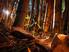 Bamboo Starburst