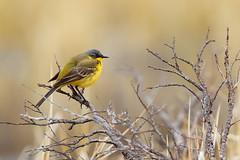 Western Yellow Wagtail | gulärla | Motacilla flava