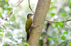【斑胸綠啄木】Streak-breasted Woodpecker