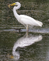 Great White Egret with a fish