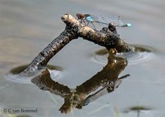 Libelle in spiegelbeeld