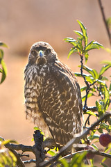 Juvenile Hawk in My Yard