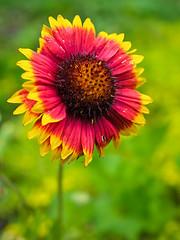 IMGPJ08253_Fk - Spring Mill State Park - Living History Weekend - Flower