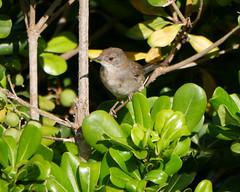 Unknown bird in hedge
