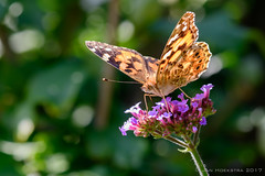 Distelvlinder - Painted Lady - Vaness cardui 3