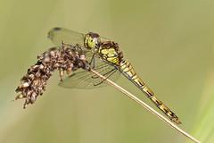 Female Common Darter.....