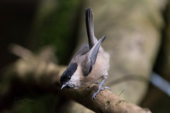 Willow Tit 18th August 2017