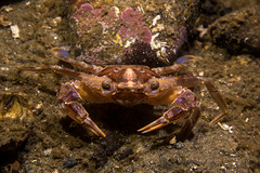 "Liocarcinus sp. • <a style=""font-size:0.8em;"" href=""http://www.flickr.com/photos/51511072@N04/36015931373/"" target=""_blank"">View on Flickr</a>"