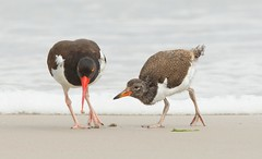 American Oystercatcher with juvi