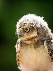 Young Burrowing Owl