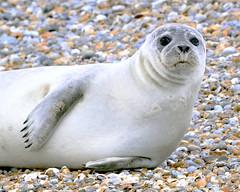 Blakeney Seal
