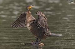 Cormorant (Juvenile)