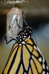 Monarch Butterfly (2 of 4)