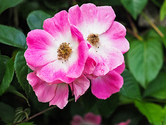 IMGPJ08235_Fk - Spring Mill State Park - Living History Weekend - Flower