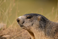 La curiosité de la marmotte