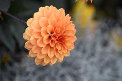 Orange Dahlia 1, Kew Gardens