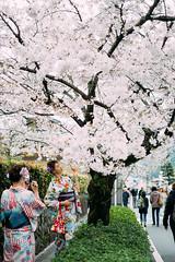 Kimono girl with Sakura