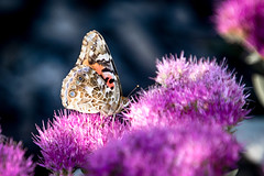 Butterfly and Sedum